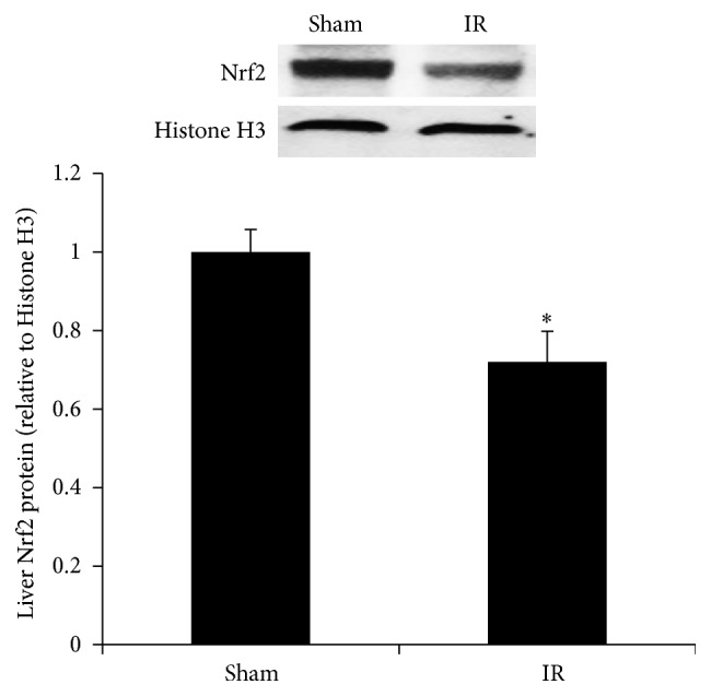 Expression of Nrf2 protein in the liver. The Nrf2 protein was determined by Western immunoblotting analysis of the liver nuclear fraction of rats subjected to renal IR or sham operation. Results are expressed as mean ± SE ( n = 4 for each group). ∗ p