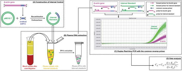 The schematic concepts of duplex real-time PCR with internal standard for quantitative detection of plasma DNA. The whole process includes 4 steps: (A) A 41-bp artificial double-stranded DNA sequence corresponding to the human β–actin gene is cloned and inserted to <t>pMD18-T</t> vector, which is then linearized by restriction enzyme digestion. (B) The recombinant plasmid DNA is added into the cell-free plasma sample with known concentration and extracted together with endogenous nucleic acids. (C) The internal standard and target gene are then amplified simultaneously in the same tube with the common reverse primer focusing on the 41-bp corresponding sequence by duplex real-time PCR, where fluorescence signals are detected separately (Applied Biosystems 7500 Sequence Detector). (D) The plasma DNA concentrations are calculated according to the internal standard by the equation.