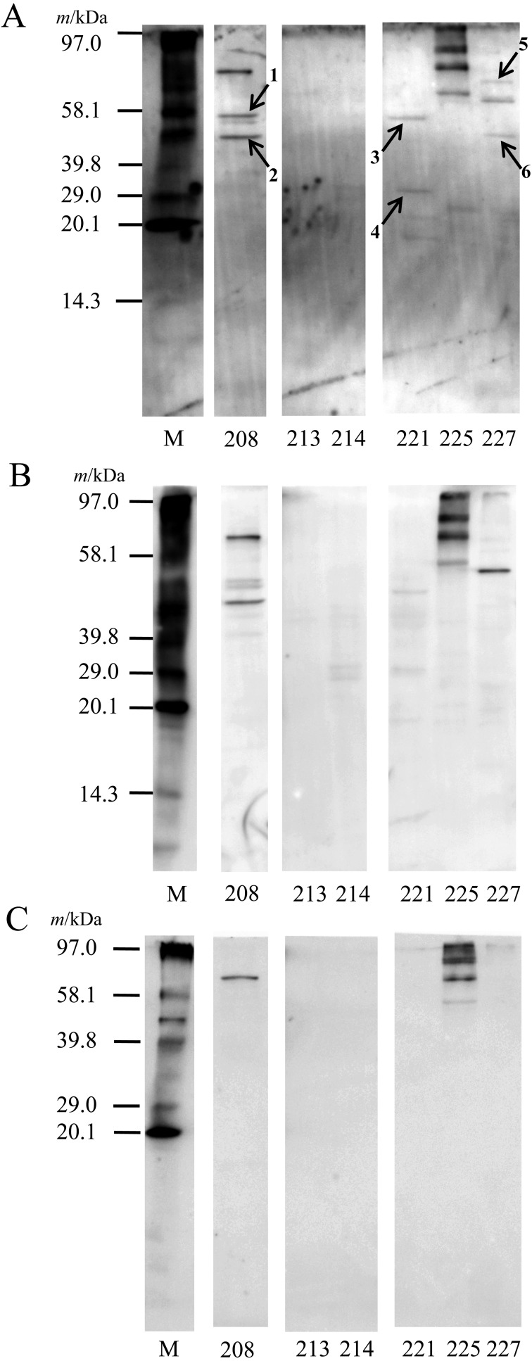 Detection of adhesins in PBS extracts by a receptor overlay (RO) analysis. After SDS-PAGE using 1 mg/ml PBS extracts, proteins were electrophoretically transferred to a PVDF membrane. The membrane was blocked with 5% skim milk. After washing, the membrane was soaked in TBS-T containing the biotinylated PIM (A), BSA (control protein) (B), or only TBS-T buffer (negative control) (C) overnight. After washing, protein bands were visualized using ExtrAvidin Alkaline Phosphatase Conjugate and ECF substrate with a luminescent image analyzer (excitation, 440 nm; emission, 560 nm). M: biotinylated molecular weight marker. The numbers (shows arrows) indicate proteins that were identified ( Table 2 ).