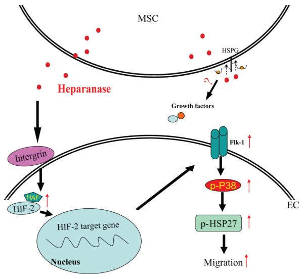 Schematic of cell migration and angiogenesis by MSC-secreted heparanase. Abbreviation: MSC, mesenchymal stem cell.