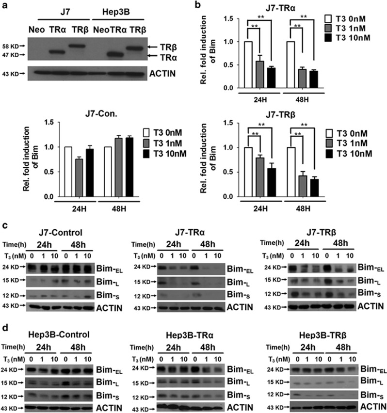 Effect of T 3 on Bim mRNA and protein expression in hepatoma cell lines. ( a ) Detection of TR protein in TR-overexpressing or control J7 and Hep3B cell lines. ( b ) RNA from TR-overexpressing or control cell lines maintained in T 3 -depleted ([T 3 ]=0 nM) or supplemented medium ([T 3 ]=1 or 10 nM) for 24 or 48 h was prepared prior to qRT-PCR analysis of Bim mRNA. Values (means±S.E.M.) are shown as fold induction relative to 0 nM T 3 . All assays were repeated at least three times. ** P