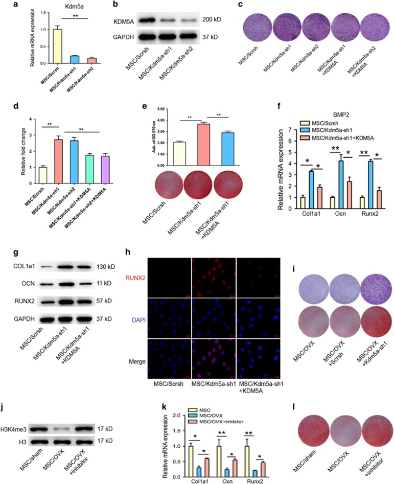 KDM5A knockdown enhanced osteogenic differentiation of MSCs. ( a ) qRT-PCR analysis and ( b ) western blot analysis of Kdm5a in MSCs after infected with lentiviral-Scrsh, lentiviral-Kdm5a-sh1 and lentiviral-Kdm5a-sh2. ( c ) Representative images of ALP staining of MSCs in Scrsh, Kdm5a-sh1, Kdm5a-sh2, Kdm5a-sh1+Kdm5a and Kdm5a-sh2+Kdm5a groups after 7 days of osteogenic induction. ( d ) Quantitative analysis of ALP activity of MSCs in Scrsh, Kdm5a-sh1, Kdm5a-sh2, Kdm5a-sh1+Kdm5a and Kdm5a-sh2+Kdm5a groups after 7 days of osteogenic induction. ( e ) Representative images of Alizarin red staining (including quantitative analysis) of MSCs in Scrsh, Kdm5a-sh1 and Kdm5a-sh1+Kdm5a groups after 14 days of osteogenic induction. ( f ) qRT-PCR analysis and ( g ) western blot analysis of Col1a1, Ocn and Runx2 expression in MSCs in Scrsh, Kdm5a-sh1 and Kdm5a-sh1+Kdm5a groups after 7 days of osteogenic induction. ( h ) Immunostaining of Runx2 (red) location in MSCs in Scrsh, Kdm5a-sh1 and Kdm5a-sh1+Kdm5a groups after 7 days of osteogenic induction. Scale bar, 20 μ m. ( i ) Representative images of Alizarin red staining of MSCs isolated from OVX mice in Scrsh, Kdm5a-sh1 groups after 14 days of osteogenic induction. ( j ) Western blot analysis of H3K4me3 expression in MSCs of sham mice and OVX mice with or without Kdm5a inhibitor (JIB-04 with 300 nM) treatment. ( k ) qRT-PCR analysis of the expression of Col1a1, Ocn and Runx2 in MSCs of sham mice and OVX mice with or without Kdm5a inhibitor treatment. ( l ) Representative images of Alizarin red staining of MSCs isolated from sham mice and OVX mice with or without Kdm5a inhibitor treatment. All the data were confirmed by three repeated tests. Data were mean±S.D. * P