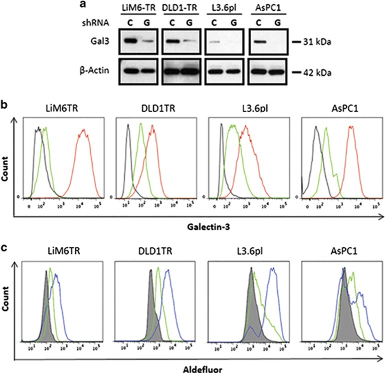 Silencing of Gal3 shifts CSC subset to a Gal3 negative CSC subset. ( a ) Western blot analysis for comparison of total Gal3 in LiM6TR or DLD1TR colon cancer cells and L3.6pl or AsPC1 pancreatic cancer cells after infection with lentiviral particles for control-shRNA ( c ) or Gal3-shRNA (G). Each pair of control and Gal3 knockdown cells were run side by side on the same gel. Comparison of Gal3 expression between cell lines has been previously published 10 ( b ) Flow cytometric analysis of colon cancer and pancreatic cancer cells after infection with lentiviral particles for control-shRNA (red trace) or Gal3-shRNA (green trace). Black trace is background staining. ( c ) ALDH activity was analyzed by flow <t>cytometry.</t> ALDEFLUOR activity in colon cancer and pancreatic cancer cells after infection with lentiviral particles for control-shRNA (blue trace) or Gal3-shRNA (green trace). Gray profile is background staining