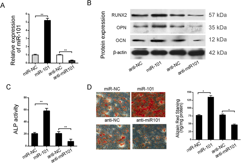 miR-101 promotes the osteogenic differentiation of hBMSCs. ( A ) miR-101 mRNA expression in hBMSCs infected by miR101-lentivirus or transfected with anti-miR101 was analyzed by qRT-PCR with U6 as a control before osteogenic differentiation. ( B ) The osteoblastic marker genes RUNX2, ALP, OPN and OCN were analyzed by Western Blot at day 15 of osteogenic differentiation with β-actin as a control. ( C ) ALP activity was measured at day 15. ( D ) Alizarin Red staining was measured at day 15 and quantification is shown at right. All of the data are expressed as the mean ± SD. *p