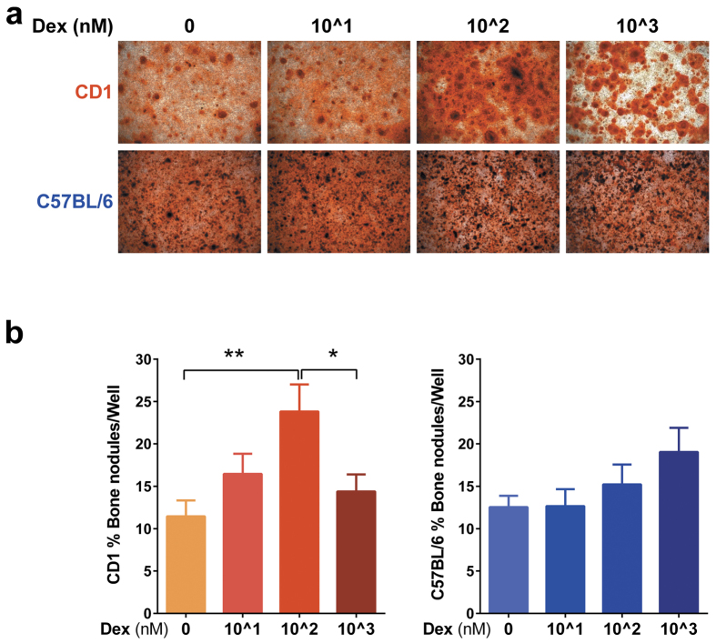 In vitro osteogenesis of C57BL/6J and CD1 mouse calvarial cells in the presence of Dex. Calvarial OBL were isolated from 1 day old pups by collagenase II + Dispase enzymatic digestion and were plated in 96 well plates in osteogenic induction media with different Dex concentrations (0, 10^1, 10^2 and 10^3 nM). OBL mineralization was evaluated on day 6 by 1% alizarin red-S staining (Original magnification, x4, Pictures in upper row were obtained from CD1 mice and pictures in lower row were obtained from C57BL/6 mice) ( a ). The percentage of Alizarin red-positive bone nodules area reported to the total well area was quantified with Image-J software. Results are represented as mean of 4 (n = 4) independent experiments, each performed in triplicates ( b ). Error bars correspond to SEM. Statistical analysis was performed using one-way ANOVA followed by Tukey's multiple comparison test (*p