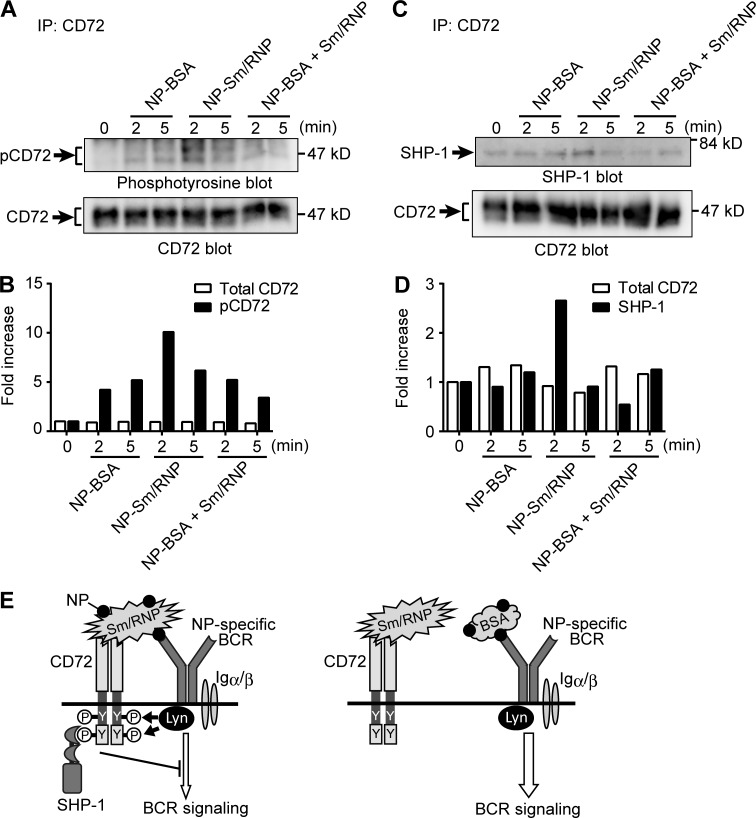 NP-Sm/RNP induces phosphorylation and SHP-1 recruitment of CD72 in NP-reactive B cells. (A–D) The B cell line BAL17-9T13 that expresses anti-NP BCR was treated with NP-BSA, NP-Sm/RNP, or a combination of NP-BSA and Sm/RNP for the indicated time, and lysates were immunoprecipitated (IP) with anti-CD72 antibody. Phosphorylated CD72 (pCD72; A) and SHP-1 (C) in the immunoprecipitates were analyzed by Western blotting. The intensities of protein bands for total CD72 (B and D), phosphorylated CD72 (B), and SHP-1 (D) were quantified and expressed as fold-change relative to unstimulated cells (0 min). Data are representative of four independent experiments. (E) Schematic representation of the mechanisms for CD72-mediated signal regulation. Coligation of CD72 with BCR mediated by Sm/RNP (left) but not independent ligation of CD72 and BCR (right) induces CD72 phosphorylation by BCR-associated kinases such as Lyn. The requirement of coligation restricts CD72-mediated signal inhibition only in Sm/RNP-reactive B cells. P, phosphate group; Y, tyrosine residue.