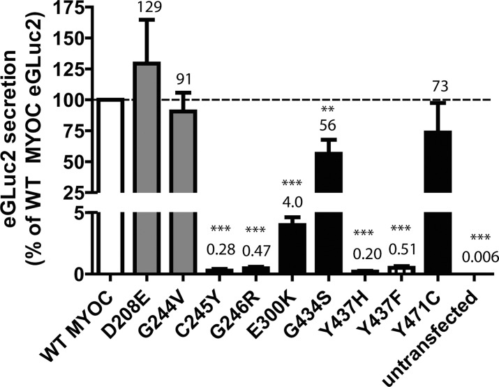 Analysis of pathogenic and nonpathogenic MYOC eGLuc2 mutants. ( A ) GLuc luminescence assay of secreted WT MYOC ( white bar ), predicted polymorphic (nonpathogenic) MYOC mutants ( gray bars , D208E, G244V), predicted pathogenic MYOC mutants ( black bars , C245Y, G246R, E300K, G434S, Y437H, Y471C) and an engineered mutant ( striped bar , Y437F), from transfected HEK-293T cells. At 48 hours after transfection, 50 μL of conditioned media was assayed for the MYOC eGLuc2 fusion protein. Media from untransfected cells was used as a control ( n ≥ 3 independent experiments, ±SD, ** P