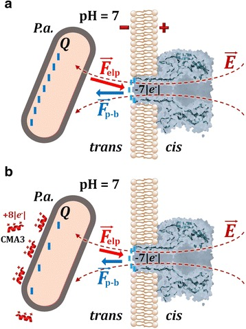 Cartoon representation (not drawn to the scale) reflecting the putative role played by the CMA3 peptide adsorption to P.a. , on the bacterial cell capture process. As compared to the control case (no peptide, a ), the cationic CMA3 peptide (charge = + 8| e − | at pH = 7) adsorption to P.a. ( b ) determines a net decrease on the bacterial surface charge on the outer membrane (Q), at pH = 7. The charge reduction on bacterial surface leads to an augmented association rate of the P.a. -α-HL interactions, resulting from the reduced magnitude of electrostatic repulsive forces manifested between the negatively charged bacteria and the lumen entrance of the α-HL (F p-b ), which over-compensates for the reduced electrophoretic force ( F elp ) acting on the bacterium (see text). Around neutral pH, the net electric charge present at the entrance of α-HL's lumen is ~ − 7| e − |