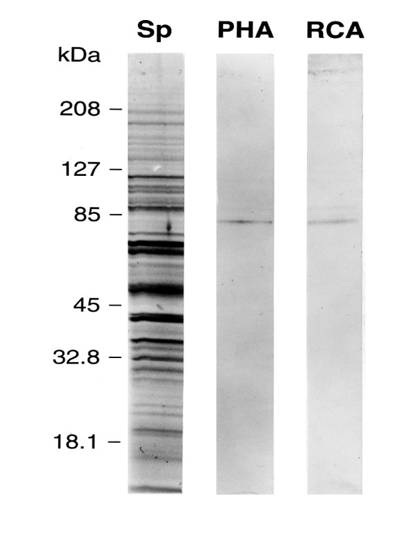 Lectin labelling of solubilized barbel epithelial proteins SDS-PAGE (4–20%) of 10 μg of solubilized barbel homogenate stained with silver ( Lane
