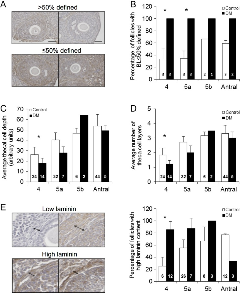 Analysis of basal lamina, theca cells and laminin by immunohistochemistry. (A) Representative images defining how follicle BL was classified as either ≤50% or > 50 BL defined. (B) Proportion of Control and DM follicles at 9 weeks of age (Control n = 11 follicles; n = 3 mice, DM n = 9 follicles; n = 3 mice) classified as having less than or equal to 50% or more than 50% BL defined. (C and D) The theca cell depth and the number of theca cell layers are both reduced in DM follicles compared with Controls at 9 weeks of age (Control n = 106 follicles; n = 3 mice, DM n = 28 follicles; n = 3 mice). (E) Laminin detection in ovary sections using IHC revealed that DM follicles at the secondary stage (stage 4) have a higher laminin content in the theca compartment than Controls at 9 weeks of age. Results are expressed as mean ± s.e.m . Numbers in columns represent number of follicles. * P ≤ 0.05.