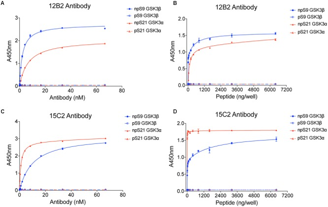 12B2 and 15C2 are specific for nonphospho-Ser GSK3β/α peptides. Each antibody was screened in indirect ELISA titers against npS9 GSK3β, pS9 GSK3β, npS21 GSK3α and pS21 GSK3α peptides ( n = 3 independent experiments). (A) 12B2 showed strong reactivity for npS9 GSK3β compared to npS21 GSK3α peptides and did not react with pS9 or pS21 GSK3 peptides (EC 50 values: npS9 = 2.1 nM; pS9 = indeterminate (id); npS21 = 6.4 nM; pS21 = id). (B) To further confirm the specificity of 12B2, ELISAs were performed by coating wells with a wide range of peptide amounts (0 – 6.4 μg peptide/well). 12B2 showed strong reactivity with the npS GSK3 peptides (β > α), but did not react with pS GSK3 peptides. (C) 15C2 showed stronger reactivity for npS21 GSK3α compared to npS9 GSK3β and did not react with pS9 or pS21 GSK3 peptides (EC 50 values: npS9 = 2.4 nM; pS9 = id; npS21 = 277 pM; pS21 = id). (D) To further confirm the specificity of 15C2, ELISAs were performed by coating wells with a wide range of peptide amounts (0 – 6.4 μg peptide/well). 15C2 showed strong reactivity with the npS GSK3 peptides, but did not react with pS GSK peptides. It is noteworthy that synthetic peptides provide a homogeneous source of modified peptides, and thus, are ideal for challenging the specificity of the antibodies against nonphospho-Ser and phospho-Ser residues in GSK3.