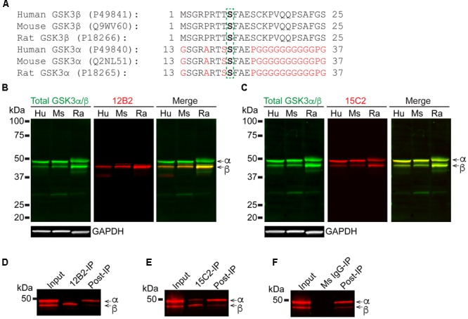 12B2 and 15C2 are specific for nonphospho-S GSK3 in brain lysates of human, mouse, and rat, and both effectively immunoprecipitate GSK3 from cell lysates. (A) Protein sequence alignments for GSK3β (amino acids 1–25) and GSK3α (amino acids 13–37) from human, mouse and rat (Uniprot IDs in parentheses). (B,C) Blots of lysates from human, mouse and rat cortical tissue and GAPDH was used as a loading control (40 μg/lane total protein loaded; experiment repeated three times). (B) 12B2 (red) specifically labeled GSK3β, not GSK3α, in lysates and total GSK3α/β (green) was used to identify both isoforms. (C) 15C2 (red) labeled both GSK3β and GSK3α in lysates and total GSK3α/β (green) was used to identify both isoforms. (D–F) The 12B2 (D) , 15C2 (E) , or control mouse <t>IgG</t> ( F , Ms IgG) were used to immunoprecipitate GSK3 enzymes from HEK293T cell lysates. The starting lysate (Input) was incubated with magnetic beads coated with 12B2 (D) , 15C2 (E) , or Ms IgG control (F) antibodies. 12B2 pulled down only GSK3β (12B2-IP), 15C2 pulled down both GSK3α and β (15C2-IP) and Ms IgG did not pull down GSK3α or β (MsIgG-IP). The post-IP lysates were also run for comparisons to the input samples. These experiments were performed three independent times.