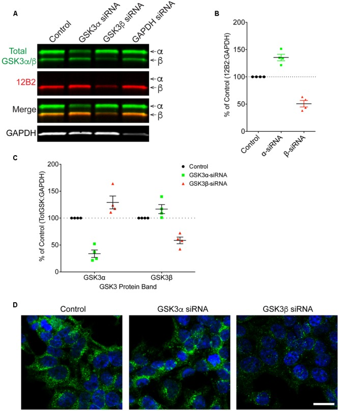 siRNA knockdown of GSK3α and GSK3β demonstrate specificity of the 12B2 antibody. (A) HEK293T cells were treated with control, GSK3α, GSK3β or GAPDH siRNAs and probed with 12B2 (red) and total GSK3β/α (green) antibodies. (B) Quantitation of 12B2 signal shows that GSK3β siRNA caused a reduction of 50% for GSK3β when compared to control cells, while GSK3α siRNA caused an increase in GSK3β (+35%). (C) Quantitation of total GSK3α/β antibody signal shows that GSK3α siRNA caused a loss of 66% for GSK3α and an increase in GSK3β (+29%) when compared to controls. Quantitation of total GSK3α/β antibody signal shows that GSK3β siRNA caused a loss of 41% for GSK3β and an increase in the GSK3α (+17%) when compared to control cells. All immunoblotting data are normalized to GAPDH signal and expressed as percent of the control group to illustrate the siRNA-mediated changes in signal. (D) Immunocytofluorescence of HEK293T cells confirms the reduction in 12B2 detection of npS9 GSK3β, which produces a punctate staining pattern, in GSK3β siRNA treated cells compared to control and GSK3α siRNA treated cells. Scale bars = 20 μm. Four independent experiments were performed. GAPDH siRNA quantitation is provided in Supplementary Figure S4 .