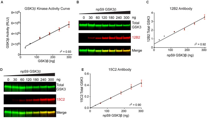"Detection of recombinant npS9 GSK3β with 12B2 and 15C2 antibodies is linear and correlates with kinase activity. (A) The level of GSK3β kinase activity with 30, 60, 120, 180, 240, and 300 ng of npS9 GSK3β (""active"") was measured using an in vitro GSK3β kinase activity assay and there was a linear increase in kinase activity with increasing amounts of GSK3β ( r 2 = 0.93). Three independent experiments were performed. (B) For western blotting, recombinant GSK3β was incubated with alkaline phosphatase to generate nonphosphoS9 GSK3β or incubated with Akt1 to generate phosphoS9 GSK3β, and then 0, 30, 60, 120, 180, 240, or 300 ng of npS9 GSK3β was mixed with 300, 240, 180, 120, 60, or 0 ng of pS9 GSK3β to bring the total protein content to 300 ng/lane. The blot was probed with 12B2 (red) and total GSK3α/β antibodies (green). (C) Quantitation of signal from 12B2 shows a linear increase in reactivity with increasing npS9 GSK3β amount ( r 2 = 0.92). (D) The same samples were probed with 15C2 (red) and total GSK3α/β antibodies (green). (E) Quantitation of signal from 15C2 shows a linear increase in reactivity with increasing npS9 GSK3β amount ( r 2 = 0.90). It is notable that both 12B2 and 15C2 signals also showed a direct correlation with GSK3β activity levels (12B2: r = 0.99, p = 0.0002; 15C2: r = 0.99, p"
