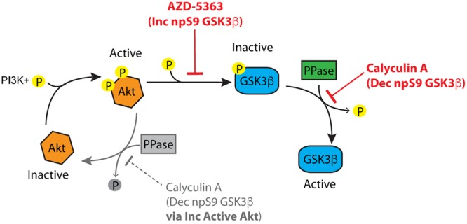 The Akt-protein phosphatase signaling pathway involved in regulating GSK3β phosphorylation. Active Akt (i.e., phosphorylated) inactivates GSK3β by phosphorylation at S9. Protein phosphatases can modulate GSK3β phosphorylation at S9 via two routes. (1) Protein phosphatases inactivate Akt by dephosphorylation, and (2) protein phosphatases activate GSK3β by directly dephosphorylating S9. Inhibition of Akt (with inhibitors such as AZD-5363) increases non-phosphorylated GSK3β by suppressing Akt-mediated phosphorylation of GSK3β. Inhibition of protein phosphatases (with inhibitors such as calyculin A) causes a decrease in non-phosphorylated GSK3β through the Akt pathway by increasing active Akt (the grayed portion of the Akt cycle). Protein phosphatase inhibition also leads to decreased non-phosphorylated GSK3β independent of Akt by directly dephosphorylating S9 in GSK3β. If an Akt inhibitor is applied followed by a protein phosphatase inhibitor the Akt-independent pathway can be evaluated.
