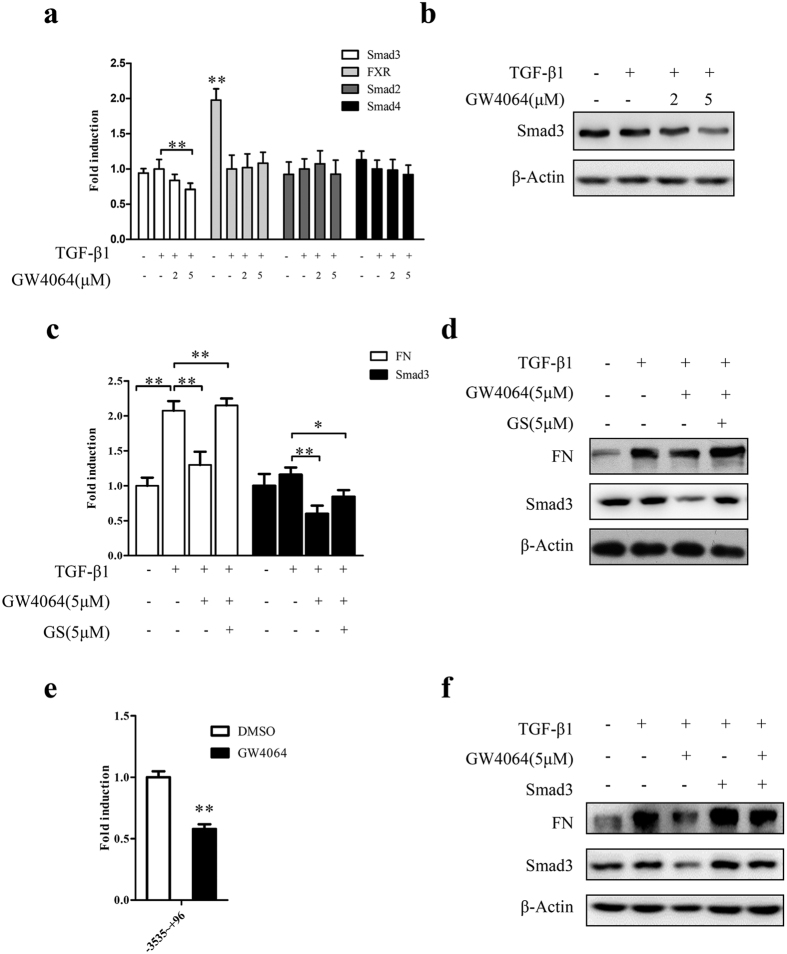 FXR represses fibrosis in HKC cells via downregulating Smad3 expression. ( a , b ) After treatment with TGF-β1 (2 μg/ml) for 24 h, HKC cells were treated with different concentrations of GW4064 or DMSO for another 24 h. Then the expression of Smad3, FXR, Smad2 and Smad4 were assayed by qRT-PCR ( a ) and the protein level of Smad3 was examined by Western blot ( b ). ( c , d ) After treatment with TGF-β1 (2 μg/ml) for 24 h, HKC cells were treated with FXR antagonist GS for 6 h. Then the cells were treated with GW4064 for another 24 h. The expression of Smad3 and FN were determined by qRT-PCR ( c ) and Western blot ( d ). ( e ) HKC cells were transiently cotransfected with the luciferase reporter pGL3-Smad3 containing Smad3 promoter region and the renilla luciferase expression vector pRL-TK for 6 h, followed by replacing transfection medium with complete medium and incubating for 12 h. Then the cells were treated with GW4064 (5 μM) or DMSO for 24 h. Subsequently, the cells were collected and luciferase activities were measured using dual-luciferase assay kit. The firefly luciferase activity was normalized with renilla luciferase activity. Data are Mean ± SD from 3 assays in triplicates. ( f ) HKC cells were transiently transfected with Smad3 expression vector pcDNA3.1-Smad3 for 6 h, followed by replacing the transfection medium with complete medium and incubating for 12 h. Then the cells were treated with TGF-β1 (2 μg/ml) for 24 h, followed by the treatment with GW4064 (5 μM) or vehicle DMSO for another 24 h. Thereafter, the protein levels of Smad3 and FN were determined by Western blot. * P