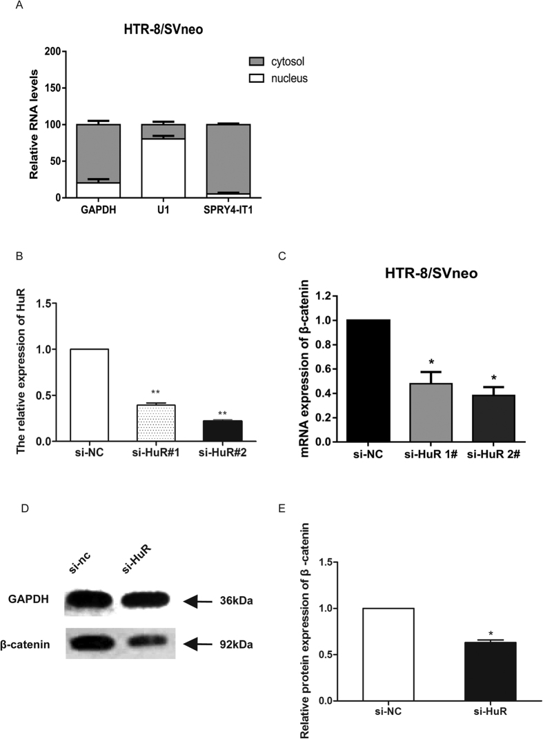 SPRY4-IT1 mediates expression of the key downstream target β-catenin through binding to HuR. ( A ) SPRY4-IT1 expression levels in different subcellular fractions in HTR-8/SVneo cells were detected by qRT-PCR. White range indicates the nuclear fraction, and the grey indicates the cytoplasmic fraction. ( B ) The relative expression of HuR decreased 65% and 81% after transfection of si-HuR. ( C ) The relative expression of β-catenin was significantly decreased in HTR-8/SVneo cells treated with HuR siRNA. ( D ) Western blot assay of β-catenin expression after HuR was knocked down in HTR-8/SVneo cells. GAPDH protein was used as an internal control. ( E ) The columns indicate the relative expression of β-catenin in HTR-8/SVneo cells transfected with si-HuR in the western blot assay. (Values are means ± SD *P