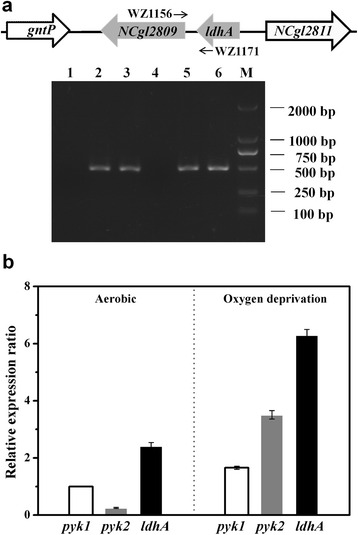 Expression of the ldhA and pyk2 genes in C. glutamicum . a Identification of the co-transcription of ldhA and pyk2 in the ldhA-pyk2 cluster using <t>RT-PCR.</t> The C. glutamicum WT strain was cultured in minimal medium with glucose under aerobic conditions. The templates used for the PCR were as follows: lanes 1 and 4, total <t>RNA</t> reverse transcribed without reverse transcriptase; lanes 2 and 5, genomic DNA; and lanes 3 and 6, cDNA. The fragments in lanes 1, 2 and 3 were amplified using the primers WZ1181/WZ868 for rpoB. In addition, the primers WZ1171 and WZ1156 were used for the ldhA-pyk2 region in lanes 4, 5 and 6. b The relative transcription levels of the pyk1 , pyk2 and ldhA genes were analyzed by qRT-PCR. Total RNA was isolated from WT cells harvested at the exponential phase under aerobic conditions and at 3 h cultivation under oxygen-deprived conditions. The expression levels of pyk1 , pyk2 and ldhA under different conditions were compared against the expression of pyk1 under aerobic conditions (=1). The mean values from at least three independent cultures are shown with the standard deviations