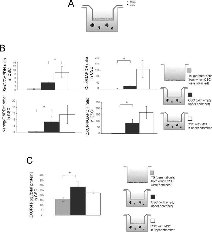 Gene expression of stem-cell markers confirmed the enhancement of stem-like features of CSC when are co-cultured with MSC in transwell. (A) Scheme of the co-culture system of HOS-CSCwith MSC used in this study. The co-culturing was prolonged for 3 days; (B) Sox2, Oct4, Nanog, and CXCR4 expression evaluated by Real Time PCR in HOS-CSC spheres that were cultured alone or with MSC (in transwell). Gene expression of CSC was also compared to parental HOS adherent cells (T0) (*p