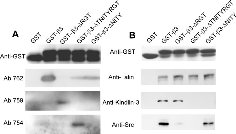 Interaction of different β3 (WT and mutants) with signaling molecules. (A) Expression of correct truncational mutants in each of the GST-β3 cytoplasmic tail fusion proteins was verified with antibodies specifically recognizing calpain cleaved forms of β3 (Ab 759 and Ab 754) and an antibody recognizing the COOH terminus of (Ab 762). (B) Glutathione-Sepharose 4B beads coated with GST-β3 cytoplasmic tail fusion proteins were incubated overnight with platelet lysates at 4°C. After washing the special antibodies were used to detect talin, kindlin-3, and c-Src binding. Anti-GST antibody was used to verify the loading of the β3 cytoplasmic tail fusion proteins.