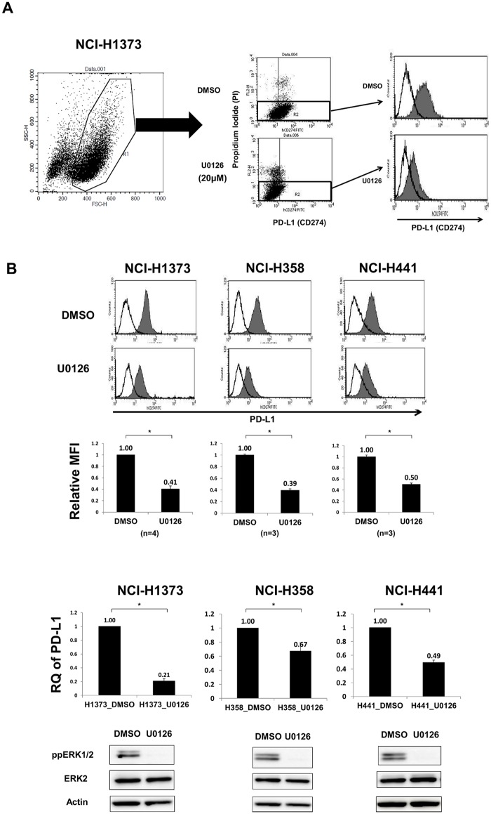 MEK inhibition significantly decreased PD-L1 expression in human lung cancer cell lines. A, Gating strategy for the determination of PD-L1 levels in lung cancer cell lines stained with FITC anti-PD-L1 mAb. For differentiation between live and dead cells, PI exclusion staining was used. B, (upper) Representative histogram of PD-L1 (shaded histogram) of three KRAS -mutant lung adenocarcinoma cell lines with DMSO or U0126 (20 μM) for 24 h. Empty histogram indicates the isotype control. (upper middle) Relative MFI (PD-L1 MFI / isotype control MFI) of the three cell lines was significantly decreased with U0126. *, p