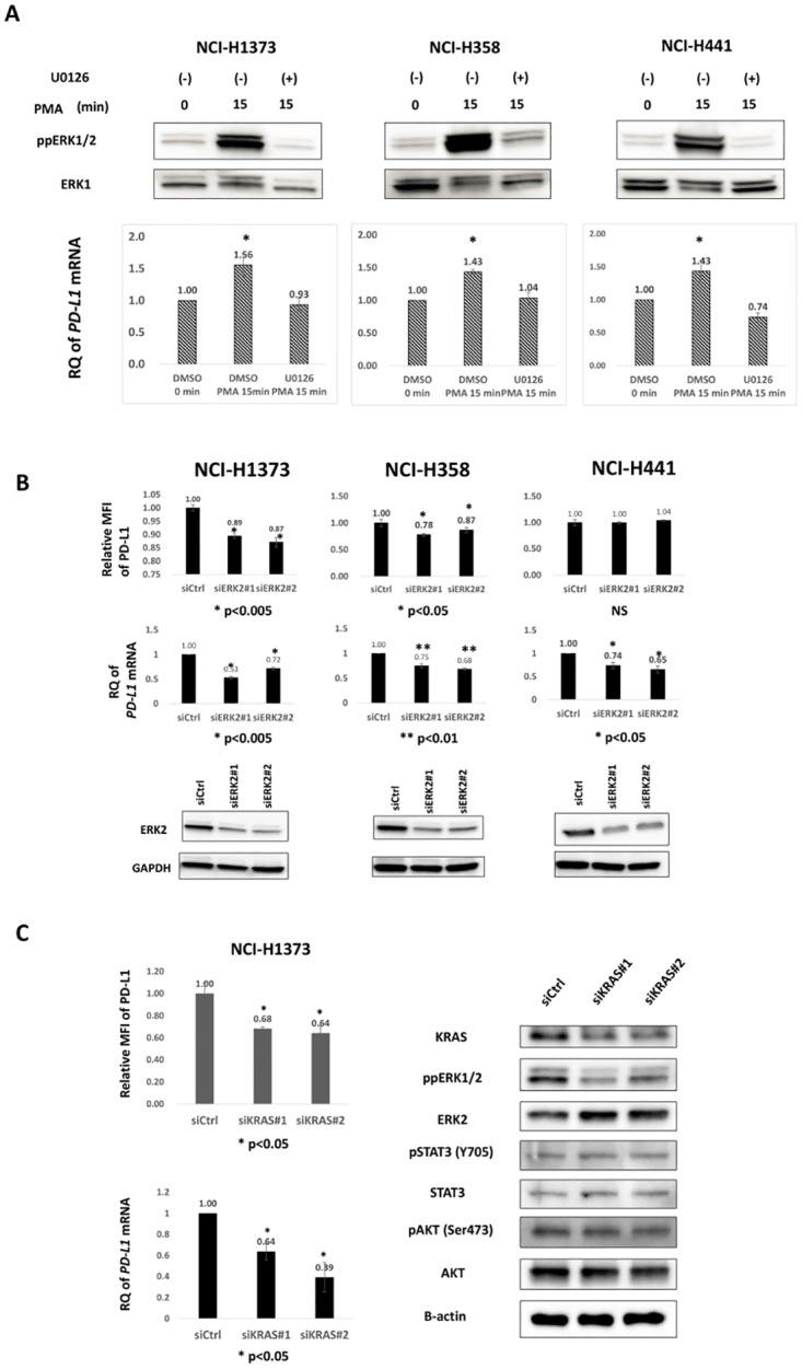 Regulation of PD-L1 by MAPK signaling is supported by PMA stimulation, ERK2 RNAi, and KRAS RNAi. A, Three KRAS -mutant lung adenocarcinoma cell lines were serum-starved for 48 h, pre-conditioned with DMSO or U0126 (20μM) for 1hr, then stimulated with 100 nM PMA for 15 min, and then evaluated for phospho-ERK and PD-L1 mRNA levels. Immunoblot (upper) and qRT-PCR (lower) showed increases in phospho-ERK and PD-L1 mRNA levels 15 min after PMA stimulation, respectively. *, p