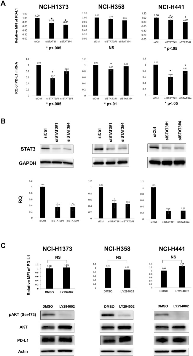 STAT3 signal, but not PI3K signal, partially contributes to ectopic PD-L1 expression in human lung cancer cell lines. A, STAT3 RNAi reduced PD-L1 expression at both protein (upper) and mRNA (lower) levels in NCI-H1373 and NCI-H441 cells but not in NCI-H358 cells. The experimental conditions were similar to those in Fig 3B . Data are the mean of three independent experiments. B, Immunoblot (upper) and qRT-PCR (lower) of STAT3 showed the decreases in STAT3 protein and mRNA levels, respectively. One representative immunoblot and the mean of three independent qRT-PCR experiments are shown. C, LY294002, a PI3K inhibitor, did not suppress PD-L1 protein expression. Three KRAS -mutant lung adenocarcinoma cell lines were treated with DMSO or LY294002 (40 μM) for 24 h. PD-L1 protein levels did not show any significant changes with LY294002 with regard to both the surface (upper) and total protein (lower) levels. Data are the mean of three independent experiments.
