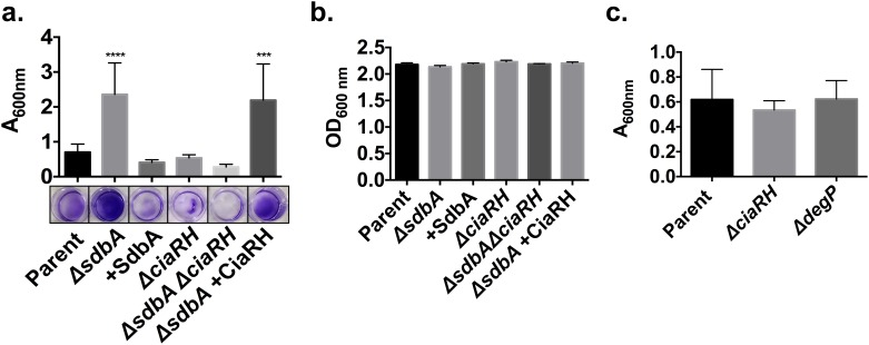 CiaRH is required for biofilm formation by the ΔsdbA mutant. (a) Crystal violet staining of 24 h <t>biofilms</t> grown in 24-well plates. Biofilms were grown with the parent, ΔsdbA , sdbA -complemented mutant (+SdbA), ΔciaRH , ΔsdbAΔciaRH double mutant, and ΔsdbA ciaRH -complemented mutant ( ΔsdbA + CiaRH). Results are means ± SD of at least three experiments. The lower panel shows representative wells after staining. (b) In parallel to the biofilm formation assay, three additional wells for each strain were tested for total growth. The optical density was measured for the combined biofilm and planktonic cells for each mutant. (c) Biofilm formation of single deletion mutants for ciaRH and degP in the parent strain. Biofilms were grown for 24 h in 24-well plates prior to staining. Data were analyzed by one-way ANOVA and asterisks indicate a significant difference from the parent (*** P ≤ 0.001, **** P ≤ 0.0001).