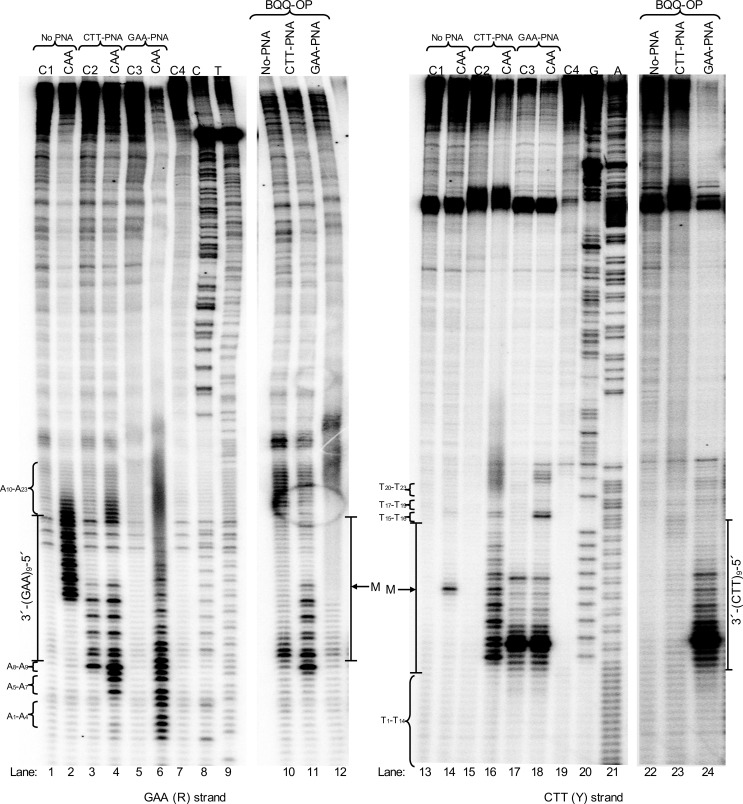 Structural- and chemical probing of DNA and DNA-PNA complex formation at (GAA) 9 repeats. Non-denaturing PAGE of DNA fragments mapped by BQQ-OP cleavage and chloroacetaldehyde (CAA) modification followed by primer extension (PE). Plasmid pMP141(9 repeats), was incubated in the absence (No PNA) or presence of 10 μM of GAA-PNA or CTT-PNA in buffer (10 mM sodium cacodylate, 100 mM NaCl, 2 mM MgCl 2 , pH 7.5). The plasmid was then either chemically modified using 2% CAA or cleaved using 1 μM BQQ-OP. Untreated plasmid was used in a set of four different controls (C) of the PE reactions: C1= plasmid incubated in the absence of PNA. C2= plasmid incubated in the presence of CTT-PNA. C3= plasmid incubated in the presence of GAA-PNA. C4= plasmid not incubated. All samples were linearized using ApaI and then used as templates for the PE reaction. Sequence ladders using dideoxynucleotides (C=ddCTP, T=ddTTP, G=ddGTP and A=ddATP), linearized pMP141(9 repeats) and a PE reaction control (C4) are also shown. The left gel panel shows the DNA fragments obtained in a PE reaction using the GAA containing (R)-strand as template, and the right gel panel shows the DNA fragments obtained when using the CTT containing (Y)-strand as template. The A 1 to A 23 nucleotides flanking the repeats of the R-strand and T 1 to T 23 flanking in the Y-strand and the mid-point of the repeat sequence (M) are indicated.