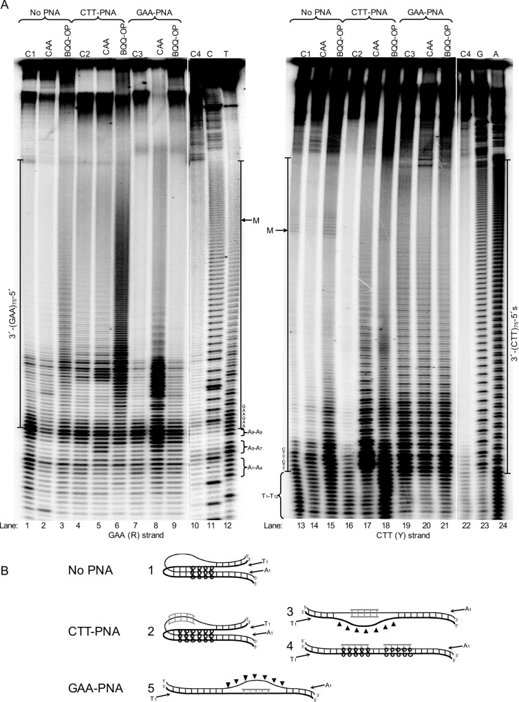 Structural- and chemical probing of <t>DNA</t> and DNA-PNA complex formation in pMP178(75 repeats). A) Non-denaturing PAGE of DNA fragments mapped by BQQ-OP cleavage and chloroacetaldehyde (CAA) modification followed by primer extension (PE). Plasmid pMP178(75 repeats), was incubated in the absence (No PNA) or the presence of 10 μM of PNA (GAA-PNA or CTT-PNA) in buffer (10 mM sodium cacodylate, 100 mM NaCl, 2 mM MgCl 2 , pH 7.5). The plasmid was then chemically modified using 2% CAA or cleaved using 1 μM BQQ-OP. Non-treated plasmid was used in a set of four different controls (C) of the PE reactions C1= plasmid incubated in the absence of PNA. C2= plasmid incubated in the presence of GAA-PNA. C3= plasmid incubated in the presence of CTT-PNA. C4= plasmid not incubated. All samples were linearized by <t>ApaI</t> then subjected as templates for the PE reaction. Sequence ladders using dideoxynucleotides (C=ddCTP, T=ddTTP, G=ddGTP and A=ddATP), linearized pMP178(75 repeats) and the PE reaction control (C4) are shown as references. The DNA fragments detected in a PE reaction using the GAA (R)-strand as template, and the right gel panel shows the DNA fragments detected in a PE reaction using the CTT (Y)-strand as template. The A 1 to A 9 nucleotides flanking the repeats of the R-strand and T 1 to T 12 flanking in the Y-strand and the middle point of the repeat sequence are indicated (M). B) Models showing the most predominant DNA and DNA-PNA structures formed at pMP178(75 repeats) in the absence or the presence of CTT-PNA or GAA-PNA respectively. They correspond to: 1. 5′3′3′-pyrimidine motif H-DNA, 2. CTT-PNA stabilized 5′3′3′-pyrimidine motif H-DNA, 3. Triplex-invasion, 4. Intermolecular triplex and 5. Duplex-invasion structure. Thin line= purine strand, thick line= pyrimidine strand, grey line= PNA. Regions modified by CAA (π) or cleaved by BQQ-OP (o) are indicated.
