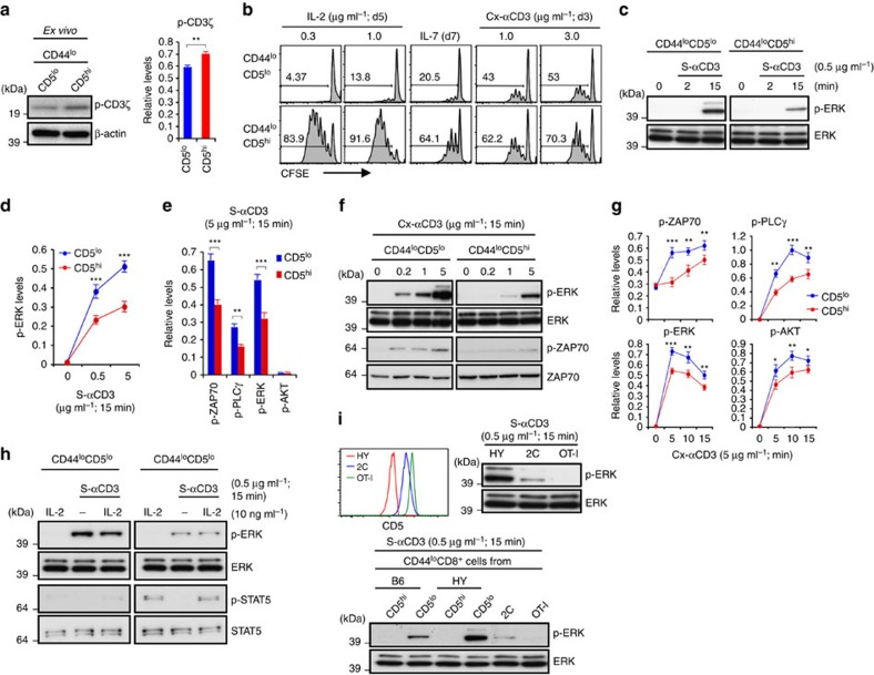 TCR sensitivity of CD5 lo versus CD5 hi naïve CD8 + T cells. ( a ) Levels of tyrosine-phosphorylated CD3ζ chain (p-CD3ζ; 21 kDa) in freshly isolated CD5 lo and CD5 hi B6 naïve (CD44 lo ) CD8 + T cells (relative to β-actin; mean±s.d.). ( b ) Proliferation of CFSE-labelled CD5 lo and CD5 hi B6 naïve CD8 + T cells after incubation with IL-2, IL-7, or cross-linked anti-CD3 (Cx-αCD3) mAb. ( c – e ) ERK phosphorylation ( c ) and densitometric levels (relative to total ERK; d or β-actin; e ) of phosphorylated ERK ( d , e ), ZAP-70 ( e ), PLCγ ( e ), and AKT ( e ) in CD5 lo and CD5 hi B6 naïve CD8 + T cells after incubation with soluble anti-CD3 (S-αCD3) mAb (graphs in d and e show mean±s.d.). ( f , g ) Phosphorylation of ERK and ZAP70 ( f ) and levels of phosphorylated ZAP-70, PLCγ, ERK and AKT (relative to β-actin; mean±s.d.) ( g ) in CD5 lo and CD5 hi B6 naïve CD8 + T cells after incubation with Cx-αCD3 mAb. ( h ) Phosphorylation of ERK and STAT5 in CD5 lo and CD5 hi B6 naïve CD8 + T cells after S-αCD3 mAb incubation with or without IL-2. ( i ) CD5 levels by flow cytometry (top left) and S-αCD3 mAb-induced ERK phosphorylation by Western blot (top right) in naïve CD8 + T cells from HY, 2C and OT-I TCR Tg mice (top and bottom) or CD5 lo and CD5 hi naïve CD8 + T cells from B6 and HY mice (bottom); note that CD5 hi HY cells are TCR-clonotype negative. Data are representative of at least four ( a , c - g ) and three independent experiments ( b , h , i ). Unpaired Student's t -test was used for the statistical analysis. * P