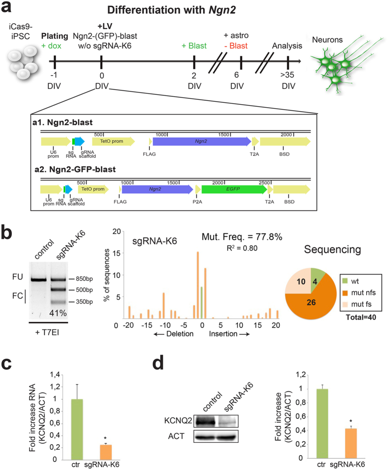 KCNQ2 gene inactivation by CRISPR/Cas9 strongly reduces the expression of KCNQ2 in hPSCs-derived neurons. ( a ) General strategy to generate an enriched population of KCNQ2 -targeted neurons from iCas9- hPSCs. The reprogramming protocol, based on the forced expression of Ngn2 , is coupled to the mutagenesis of the KCNQ2 gene when the sgRNA-K6 guide is transduced. Doxycycline was added into the media at DIV-1 and it was maintained for all the experiment. Blasticidin was added to select the transduced cells (from DIV2 to DIV6). Bottom a 1: schematic illustration of the Ngn2-blast lentiviral vector expressing sgRNA, Ngn2 and blasticidin resistance gene (BSD) linked by a T2A sequence. Bottom a 2: schematic illustration of the Ngn2-GFP-blast lentivirus expressing sgRNA, Ngn2 , EGFP and BSD linked by P2A and T2A domains. ( b ) T7EI analysis in control and sgRNA-K6 neurons. FC and FU indicate the expected fraction cleaved and uncleaved used to quantify the indels, respectively. Middle, TIDE assay of the sgRNA-K6 neurons. In all figures R 2 indicates the variance, a statistic value of likelihood of the TIDE prediction. Right, number of wild type (wt), frameshift mutations (mut fs) and non frameshift mutations (mut nfs) found among 40 sequences analyzed in sgRNA-K6 neurons. ( c ) Quantitative RT-PCR for the expression of KCNQ2 in control and sgRNA-K6 neurons. Data were normalized to the reference gene β-ACTIN (ACT). In all figures, data are presented as means ± sem (in this case, n = 3, *p