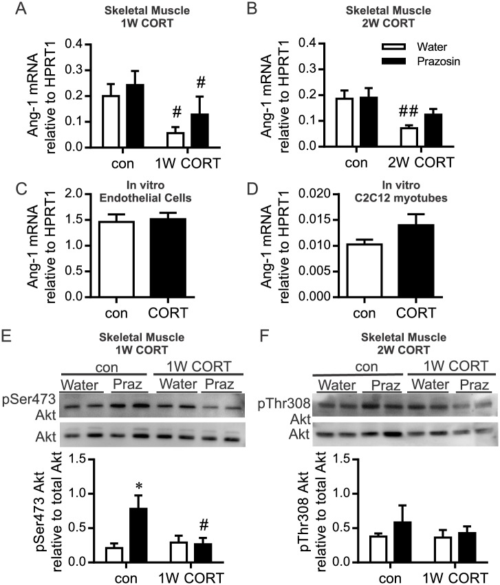 CORT influence on Ang-1 mRNA and Akt phosphorylation. RNA was isolated from the TA muscle after 1W or 2W of CORT treatment with or without concurrent prazosin or from cultured endothelial or C2C12 cell extracts after 48 hours of CORT-treatment. (A,B) Ang-1 mRNA, assessed by Taqman qPCR and represented as 2 -ΔCt relative to the housekeeping gene HPRT1, was significantly reduced with CORT treatment ( # P = 0.02; main effect of 1W CORT; ## P