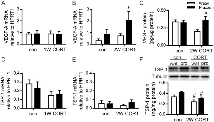 Alterations to VEGF-A and TSP-1 with elevated CORT and concomitant prazosin treatment. RNA or protein was isolated from the TA muscle after 1W or 2W of CORT with or without concurrent prazosin treatment. Taqman qPCR was used to assess the mRNA levels of VEGF-A (A,B) and TSP-1 (D,E), while VEGF-A protein was assessed by ELISA (C) and TSP-1 protein by Western blot (F). (A) VEGF-A mRNA was not altered in response to 1W CORT and/or prazosin. (B) VEGF-A mRNA was not affected by 2W CORT ( P = 0.08), while a significant prazosin effect was detected within the 2W CORT-prazosin group (* P