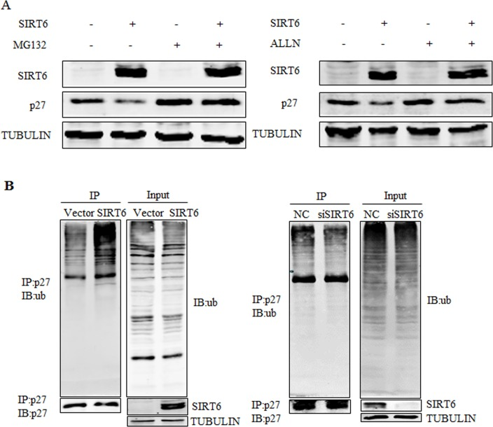 SIRT6 promotes the ubiquitination of p27 ( A ) 293 cells were transfected with SIRT6 and vector, twenty four hours after transfection, cells were treated with MG132 or acetyl-leu-leu-norleucinal (ALLN) 5 h before harvesting. Proteins were analyzed by western blot. ( B ) An in vivo ubiquitination assay was performed. 293 cells were transiently transfected with SIRT6 and vector, siRNA-SIRT6 and NC (negative control). Forty two hours later, cells were treated with MG132 for 5 h. Cells were lysed and proceeded for <t>co-immunoprecipitation</t> using the p27 antibody.