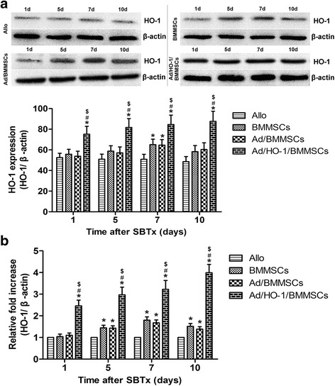 Expression of HO-1 protein and mRNA in the graft after SBTx. Expression of HO-1 in protein ( a ) and mRNA ( b ) was confirmed by western blot assay and real-time PCR, respectively ( n = 5 in each group). Relative content was determined by HO-1/β-actin ratio. High-level and steady expression of HO-1 protein and mRNA were observed in the Ad/HO-1/BMMSC group (* P
