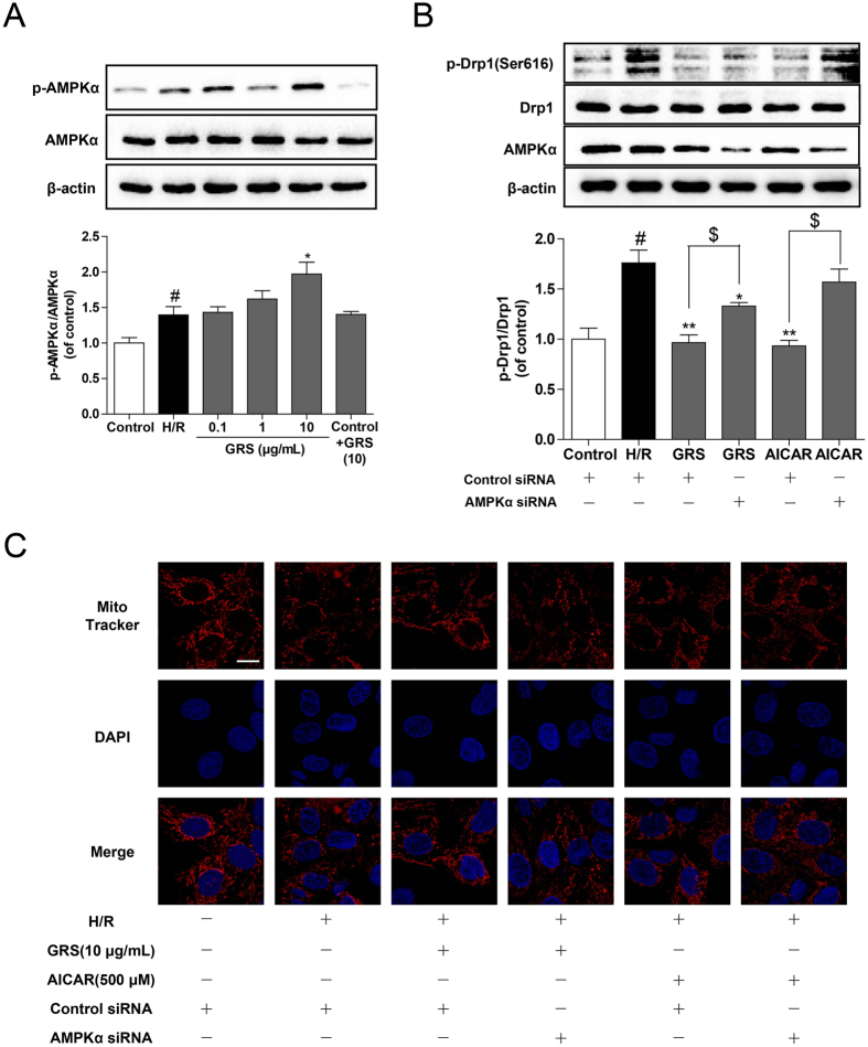 GRS inhibited mitochondrial fission with regulation of AMPK. ( A ) H9c2 cardiomyocytes were treated with GRS at the concentration of 0.1–10 μg/mL and then exposed to hypoxia of 6 h followed by 1 h reoxygenation. AMPKα and p-AMPKα expression were detected by western blot. (B) GRS and AICAR incubated with H/R injury in H9c2 cardiomyocytes transfected with AMPKα or control scrambled siRNAs. AMPKα, Drp1 and p-Drp1 expression were detected by western blot. (C) Mitochondrial fission was detected by Mito Tracker Red with confocal microscopy (Bar = 10 μm). # P