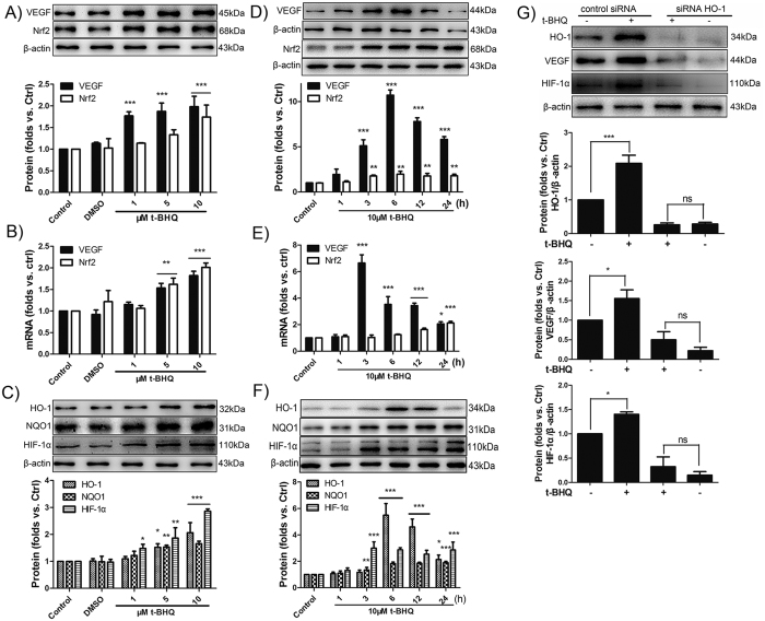 Nrf2 activator t-BHQ activates VEGF via Nrf2/HO-1/HIF-1α pathways. ( A,B ) After the BMECs was incubated with 1–10 μM of t-BHQ for 6 h, the mRNA and protein levels of Nrf2 and VEGF was determined using β-actin as the loading control by Western blot and qRT-PCR. The histograms show the ratio of Nrf2/β-actin and VEGF/β-actin. ( C ) Western blot shows the upregulation of Nrf2 downstream protein HO-1, NQO1 and HIF-1α in response to t-BHQ. ( D,E ) 10 μM t-BHQ was used to stimulate the BMECs at different time points, and the protein and mRNA levels of VEGF and Nrf2 were measured. ( F ) The expression of HO-1, NQO1, and HIF-1α were also measured and calculated. ( E ) After 48 h of transfection with siRNA–HO-1 or control siRNA, the BMECs were incubated with 10 μM t-BHQ for 6 h. Then, Western blot was used to analyse the expression of HO-1, VEGF and HIF-1α. *p