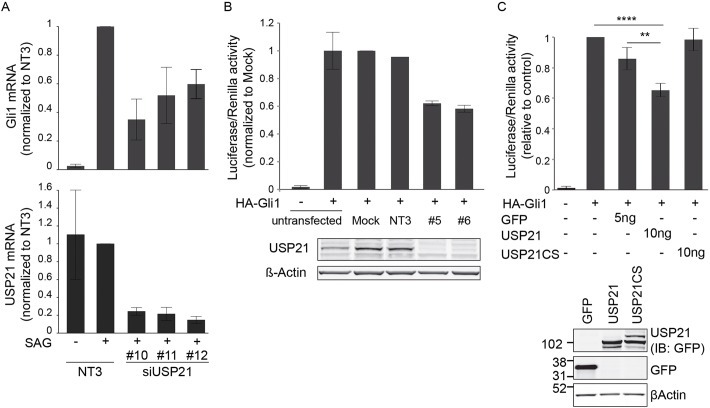 USP21 modulates Hh signaling and Gli1 transcriptional activity. (A) NIH3T3 cells were treated with USP21-targeting siRNA oligonucleotides (#10, #11, #12) or a non-targeting control (NT3), serum-starved and then incubated with SAG (100 nM) for 4 h before mRNA extraction. USP21 and Gli1 mRNA levels were measured by performing quantitative reverse-transcription PCR and normalised to <t>RNA</t> levels of Pol2 ( n =3 independent experiments, mean±s.d.). x -axis labels given in bottom panel also apply to the top panel. (B) HEK293T cells were treated with USP21-targeting siRNA oligonucleotides (#5, #6) or non-targeting control <t>oligo</t> (NT3), or were treated with transfection reagent alone (Mock). 24 h before lysis, cells were transfected with Gli-responsive firefly luciferase and Renilla luciferase reporters (pGLB3B-12Gli-Luc and pRL-Renilla-TK), as well as with a Gli1 expression construct (HA–Gli1). Efficiency of the knockdown was assessed by western blotting ( n =2, bars show the range). (C) HEK293T cells were transfected with Gli-responsive firefly luciferase, Renilla luciferase reporters, HA–Gli1 and the indicated amounts of GFP, GFP–USP21 or GFP–USP21CS plasmids. Protein expression was assessed by western blotting (IB, immunoblot) for GFP. (GFP, n =5; USP21 and USP21CS, n =6; mean±s.d.; one-way ANOVA and Dunnett's test, ** P