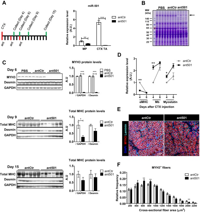 Inhibition of miR-501 in regenerating skeletal muscle inhibits appearance of myosin heavy chain and formation of large myofibers. (A) Mouse TA muscles were injected with CTX and control antagomir (antCtr) or antagomir-501 (ant501). Antagomir injection was repeated after 3 and 6 days, and muscles were harvested on day 4, 6, 9 or 15. qRT-PCR analysis of miR-501 expression is shown for FACS-isolated MPs or regenerating muscle tissue (CTX TA) at day 4 ( n =4-6, normalized to sno234). (B) Coomassie Blue staining is shown after resolving muscle lysates harvested on day 6 from PBS, antCtr and ant501 treated animals. (C) Western blot analysis for MYH3 and desmin proteins from one TA muscle on day 6 of regeneration ( n =4 mice per group) or for total MYH on day 9 and 15 after CTX injection from both TA muscles ( n =3 mice). Bar graphs show densitometry of western blots normalized to GAPDH or desmin, as indicated. (D) Expression of Myh3 (eMHC) and adult muscle markers myoglobin (Mb) and myostatin transcripts in TA muscle on day 4 and 6 after CTX injection as measured by qRT-PCR. Data are normalized to 18S rRNA and shown relative to day 4 in antCtr group. n =2-3 mice, 4-6 TA muscles per group and time point. (E,F) Frozen muscle sections harvested on day 6 after CTX were probed with MYH3- and laminin-antibodies, and DAPI. Representative pictures are shown in E. Fiber diameter was analyzed based on laminin immunofluorescence and shown relative to the total number of fibers in F. n =7-8 mice per group. All data are presented as mean±s.e.m. * P