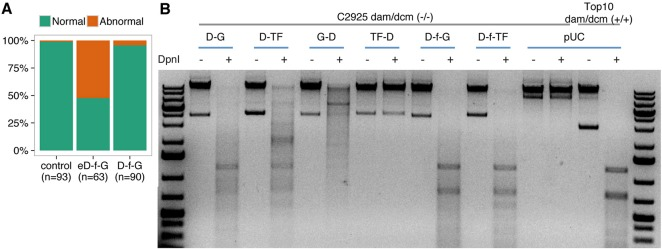 Improving Dam-fusion proteins. (A) DamL122A displays low toxicity in medaka embryos compared with the unmodified protein. Medaka zygotes were injected with mRNA coding for the E. coli Dam (eD-f-G) or DamL122A fused to GFP via flexylinker (D-f-G) (see below). Embryos were scored for abnormalities at embryonic stage 25. (B) Agarose gel of isolated bacterial gDNA samples undigested (−) or digested (+) with DpnI . Dam activity depends on the flexilinker, and the type and orientation of the fused proteins. Bacterial gDNA isolated from a strain deficient in the dam/dcm systems is resistant to Dpn I digestion. This condition can be reversed in transformed bacteria only when the fusion protein generates a functional Dam. Whereas DNA from bacteria transformed with constructs coding for fusions Dam-GFP (D-G) or Dam-TF (D-TF) (OtpA from zebrafish) can be digested by Dpn I, DNA from GFP-Dam (G-D) and TF-Dam (TF-D) bacteria is resistant to Dpn I digestion. In addition, the use of flexylinker between Dam and the fusion protein (D-f-GFP and D-f-TF) generates a Dpn I digestion pattern similar to that of bacteria with a functional dam/dcm system (Top10 cells).