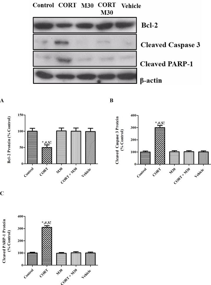 M30 abrogated CORT-induced hippocampal apoptosis. Levels of protein expression of (A) Bcl-2, (B) Cleaved Caspase 3 and (C) Cleaved <t>PARP-1</t> in the hippocampus of the control, CORT-treated (CORT), M30-treated (M30), CORT and M30 co-treated (CORT+M30) or vehicle groups are summarized. β-actin was an internal control. Data from each group were expressed as mean ± SEM (n = 8). Statistical comparisons between groups were performed using the One way Anova followed by Tukey post hoc test to detect differences in all groups. For Bcl-2, *p