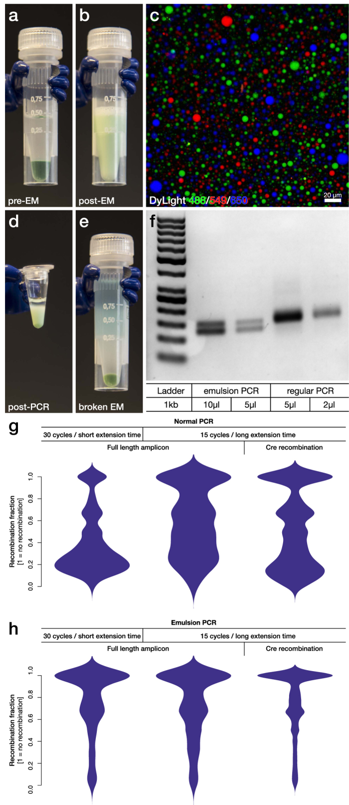 Development and characterization of an optimized emulsion PCR protocol. (a) An optimized, large scale, emulsion PCR protocol was developed to reduce template switching in the generation of amplicons for Ion Torrent and Illumina sequencing. A 50 μl PCR reaction (Phusion Hot Start with green buffer) was mixed with mineral oil and surfactant. (b) The mix was converted into a large scale emulsion using a Fast Prep homogenizer in 5 minutes. (c) To evaluate the stability and size distribution of the formed micelles, three separate PCR reactions were prepared and labels with different water soluble fluorophores (DyLight 488, 549 and 650 respectively) and made into three emulsion reactions. After mixing together the three emulsions through repeated pipetting the reaction was imaged and quantified using laser-scanning confocal microscopy emulsion. Quantification resulted in a mean diameter of the micelles of 3.7 ± 2.3 μm and a total micelle count of 2.6 × 10 8 per individual reaction. (d) The emulsion was then divided into 6 individual PCR tubes and covered with mineral oil, which remain stable after PCR. (e) Isobutanol was then used to break the emulsion. (f) The compartmentalization of a PCR reaction by emPCR enables even amplification of an equimolar mixture of two oligonucleotides (126 and 150 bp long) with identical flanking sequences but with known difference in PCR efficiency. (g) Formation of chimeras due to template switching was analysed through a comparative experiment utilizing the long amplicon library 3, containing a 1 kb long stretch of constitutive backbone which can be removed using Cre-recombinase ( Fig. 3c ). With regular PCR, this library displayed extensive template switching regardless of PCR protocol or length of constitutive sequence. (h) Using emPCR on the other hand, the template switching could be significantly reduced to a level where it became insensitive to both changes in PCR protocol and constitutive sequence length.