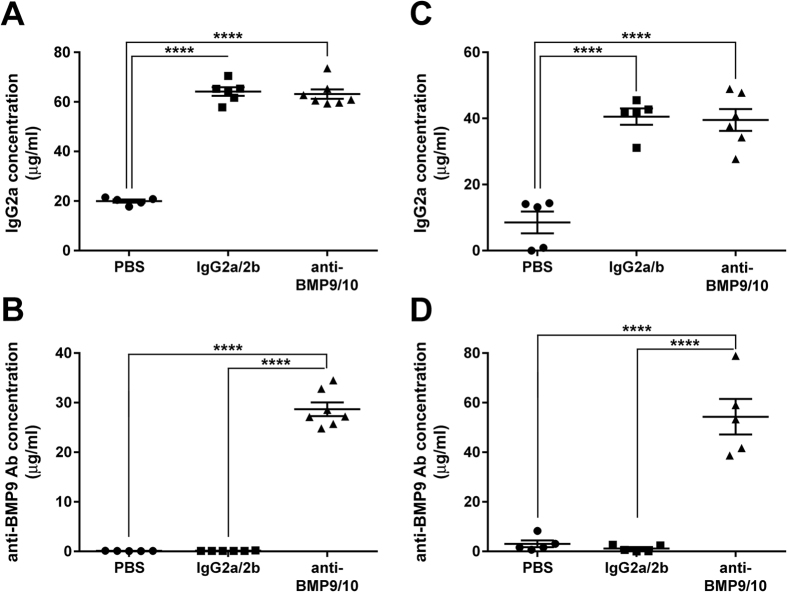 Transmammary transfer of BMP9 and BMP10 blocking Abs into the circulation of mouse neonates. ( A–D ) ELISAs were performed to measure IgG2a ( A , C ) and anti-BMP9 Ab ( B , D ) levels in the serum of P6 neonates treated at P3 with vehicle (PBS), isotype control IgGs (IgG2a/2b), or anti-BMP9/10 Abs. Neonates were treated during lactation either from dams injected i.p. with ( A , B ), or by direct i.p. injections of ( C , D ), the different Abs or vehicle. Data represent mean ± s.e.m. (n = 5–7 pups per group from 2 dams); **** P