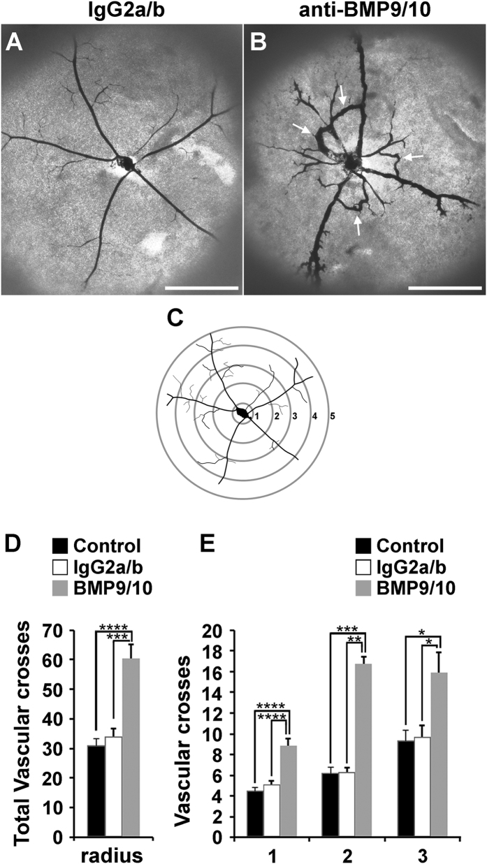 Transmammary transfer of BMP9 and BMP10 blocking Abs induces AVMs in neonatal retinas. ( A,B ) Representative images of blue latex-perfused retinal vasculature of P6 neonates fed for 3 days by dams injected on P3 with control IgG2a/b Abs ( A ) or BMP9/10 blocking Abs ( B ). Arrows in B indicate AVMs. Scale bars, 500 μm. ( C ) Scheme depicting the method employed for the quantification of the number of latex dye-positive vessels. ( D ) Histogram showing the total number of vascular crosses. ( E ) Histogram showing the number of vascular crosses per concentric circle on circles 1 to 3. Data represent mean ± s.e.m. (n = 5–7 pups per group from 2 dams); **** P