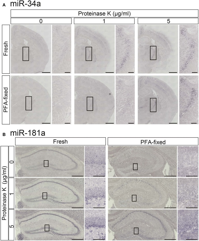 Comparisons of the signal intensities of <t>miRNA</t> ISH in fresh and fixed brain sections with or without proteinase K digestion . In situ detection of miR-34a (A) and miR-181a (B) was performed in adult mouse brain sections. The hybridization temperature was 37°C below the T m of each <t>RNA.</t> Detection was carried out using the NBT/BCIP colorimetric method. The sections were treated with or without proteinase K at the indicated concentrations. (A) Representative images of miR-34a in fresh (upper panels) and PFA perfusion-fixed (lower panels) brain sections are shown. The insert images are a higher magnification of the boxed brain sections including the TRN. Scale bars in (A) , 1 mm; 0.2 mm in the inserted images. (B) ISH signals for miR-181a in fresh (left panels) and PFA perfusion-fixed (right panels) brain sections are shown. The insert images are a higher magnification of the boxed brain sections including the hippocampal DG (B) . Scale bars in (B) , 500 μm; 100 μm in the inserted images.