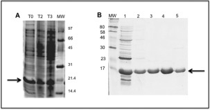 Expression of UspF protein by an IPTG‐inducible E. coli <t>BL21</t> (DE3) <t>pLyS</t> strain and purification of soluble fractions containing UspF protein. A – T0 total protein extract before induction; T2, total protein extract after induction (3 h); T3, total protein extract after induction (16–18 h). The arrow indicates position of the UspF protein (18.4 kDa). B – Purification of soluble fractions or UspF protein by affinity chromatography using a nickel‐containing resin. 1–Flow through; 2–30 m M , 3–50 m M , 4–100 m M ; 5–200 m M of imidazole.