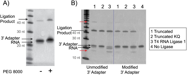 Optimization of the 3´ adapter ligation step. Synthetic Let-7d-5p (NNN) miRNA was ligated to the 3´ adapter using the same ligation conditions as the CleanTag library prep workflow step 1. A) Yield increase with addition of PEG 8000 using T4 RNA Ligase 2, truncated KQ and modified 3´ adapter (MP (n-1)). B) Specificity comparison between ligases used in 3´ ligation step: 1) T4 RNA Ligase 2, truncated; 2) T4 RNA Ligase 2, truncated KQ; 3) T4 RNA Ligase 1; 4) No Ligase. Both unmodified and modified (MP (n-1)) 3´ adapters were tested. Side products indicated with red arrows.