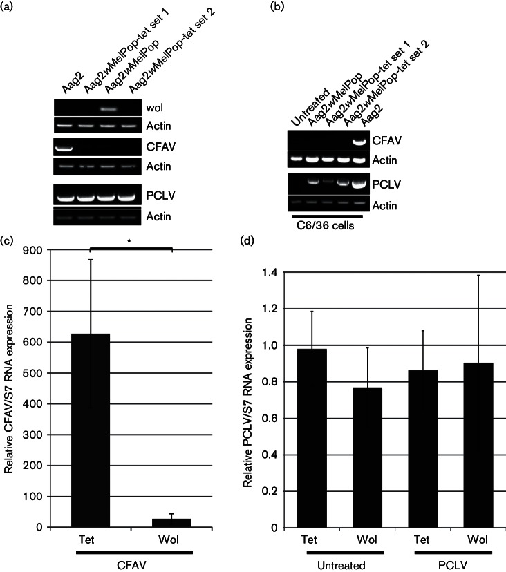 Effect of w MelPop on CFAV and PCLV infection in Aag2 cells. (a) Detection of CFAV, Wolbachia or PCLV in Aag2, Aag2 w MelPop and two different cultures of Aag2 w MelPop cells treated with tetracycline (Aag2 w MelPop-tet sets 1 and 2) cells by RT-PCR. Actin was used as loading control. (b) Detection of CFAV or PCLV in C6/36 cells incubated with supernatant of Aag2, Aag2 w MelPop or Aag2 w MelPop treated with tetracycline (two different cultures, Aag2 w MelPop-tet sets 1 and 2) by RT-PCR. Actin was used as a loading control. (c) Quantification of CFAV RNA in Aag2 w MelPop (Wol) or Aag2 w MelPop treated with tetracycline (Tet) cells after incubation with Aag2 supernatant containing CFAV by SYBR Green. S7 was used as internal control. Relative RNA expression is represented as (CFAV/S7). Error bars show sem from three independent experiments. (d) Quantification of PCLV RNA in Aag2 w MelPop (Wol) or Aag2 w MelPop treated with tetracycline (Tet) cells, either after incubation with Aag2 supernatant harbouring PCLV or untreated by SYBR Green. S7 was used as an internal control. Relative RNA expression is represented as (PCLV/S7) and mock-infected tetracycline cells were set to 1. Error bars show sem from three independent experiments. * P ≤0.05.