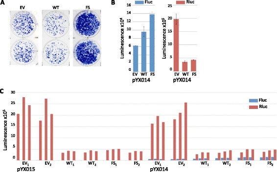 p38δ increases Fluc independent of a heterologous promoter. a Duplicate wells containing G418-resistant colonies resulting from transfection of HeLa cells with the L1 reporter JM101 in the presence of pcDNA mammalian expression vectors for: empty vector (EV), p38δ-WT (WT) or p38δ-F3324S (FS). b Mean Fluc ( left ) and Rluc ( right ) luminescence values obtained from lysates of HeLa cells transfected with the L1 reporter plasmid pYX014 in the presence of indicated pcDNA mammalian expression vectors. Averages were derived from raw data shown in ( c ) by first averaging technical replicates for each biological sample ( n = 3), and averaging biological replicates; error bars represent SEM of biological samples, n = 2. c Individual luminescence values are shown for Fluc ( blue ) and Rluc ( red ) used to calculate averages in ( b ); technical replicates are side-by-side; biological replicates are indicated with subscripts